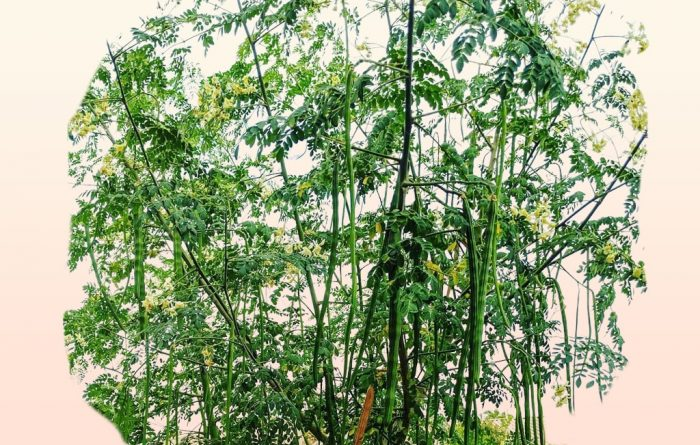 Moringa (Drumstick) Tree